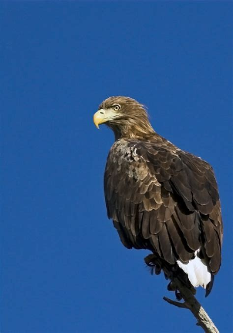 white-tailed eagle - Wiktionary